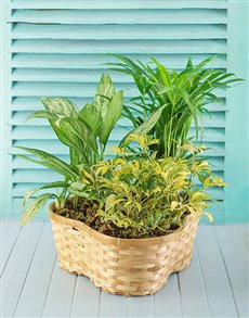 Three green pot plants in a basket