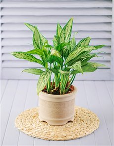 Single pot plant in a gift basket