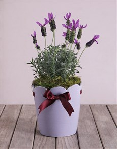 Purple Lavandula Pot!
