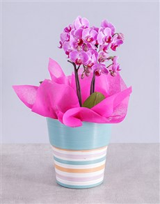 Midi Pink Orchid in Striped Vase!