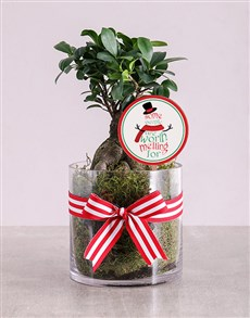 Ficus Bonsai Tree in Christmas Cylinder Vase!