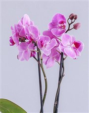 Pink Bold Orchid