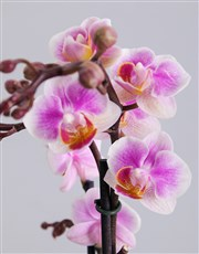 A truly elegant gift, this timeless Phalaenopsis o