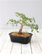 A perfect miniature 4 year old bonsai plant comes