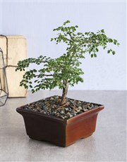 A perfect miniature 5 year old bonsai plant comes