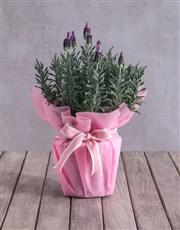 Pink Lavender Display