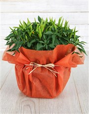 Mixed Hottie Chilli Plant