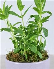 Mint Plant in Glazed Pot