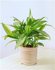 Single Green Plant in a Ceramic Pot