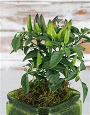 Chilli Plant in Green Vase