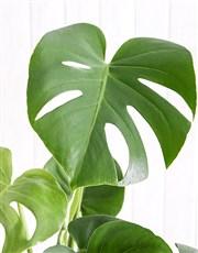 Be Mine Monsteria Plant