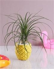 Pineapple Pony Tail Palm