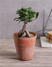 Bonsai in Terracotta Pot