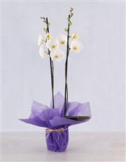 A truly elegant gift, this Phalaenopsis orchid can