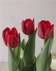Red Potted Tulip in Fabric Pot Cover