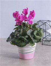 Pink Cyclamen in Striped Ceramic Pot