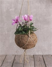 Cyclamen in Kokedama