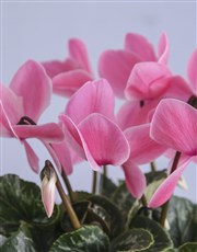 Cyclamen in Rose Gold Container