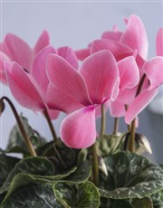 Light Pink Cyclamen in Two Tone Pot