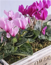 Mixed Cyclamen in Wood Container