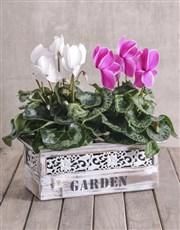 Mixed Cyclamen in Garden Crate