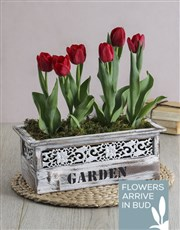 Red Potted Tulips in Garden Wooden Box