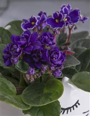 African Violets in Cat Pot
