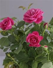 Cerise Rose Bush In Planter