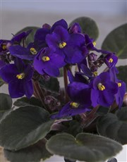 Itsy Bitsy Polka Dotted African Violet