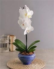 Phalaenopsis in Blue Diamond Pot