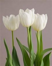 White Tulip in Nylon Container