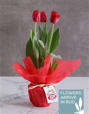 Red Love Tulips