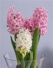 Hyacinths in a Hurricane Vase