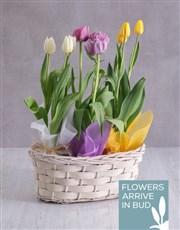 Tricolour Tulips in a White Wicker Basket