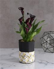 Zantedeschia in Waterproof Fabric Pot