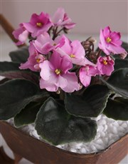 African Violet in Mini Wheelbarrow