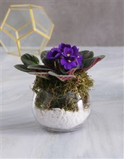 Pixie Land African Violet