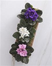 African Violet Blooms