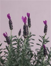 Serene Lavender in Meadow Garden Bucket