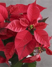 Poinsettia in Green Wrapping