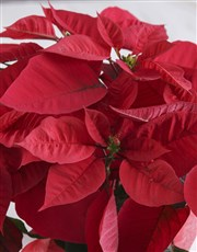 Poinsettia in Red Wrapping