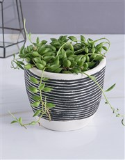 String Of Pearls In Striped Pot