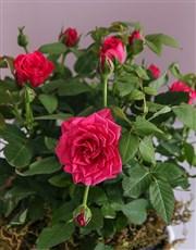 Rose Bush in Kitty Vase
