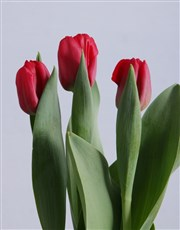 Red Tulips in Pink and Grey Pot