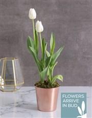 White Tulips in Cleo Pot