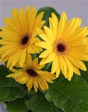 Sunshine Gerbera Plant