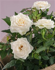 White Rose Bush Combo