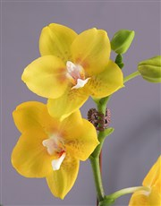 Yellow Orchid in a Polka Dot Pot