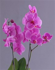 Stay Fabulous Orchid In Wooden Cooler