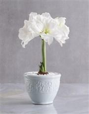 White Amaryllis Plant in Modern Ceramic Pot